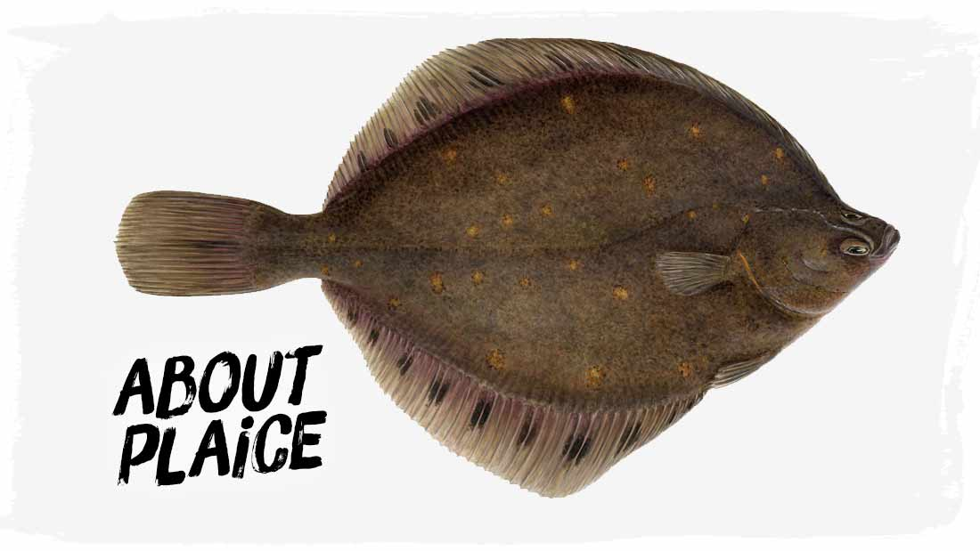 about-plaice