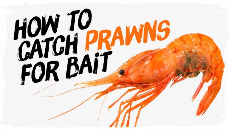 catch-prawns-for-bait