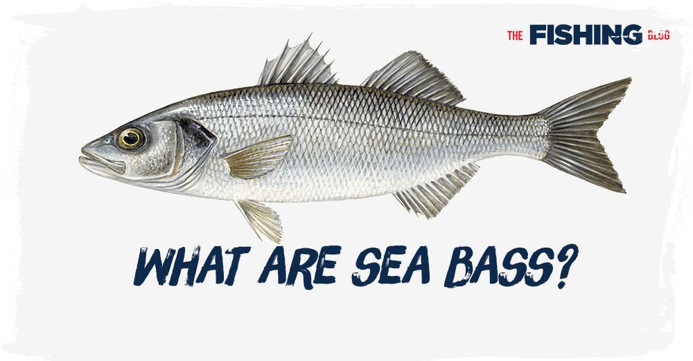 what-are-sea-bass
